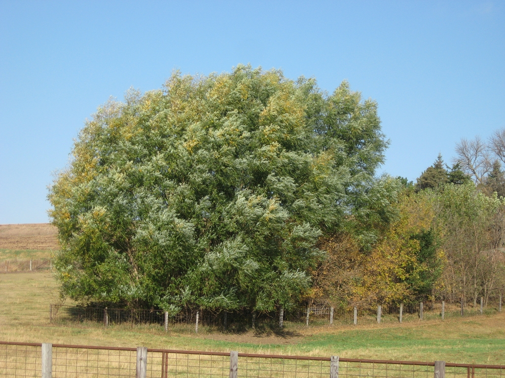 Fast growing shade trees and ornamental for sale picture pictures - Fastest growing ornamental trees ...